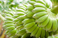 Cultivated banana, bunch of green bananas. A cluster of bananas in Thailand Royalty Free Stock Photos