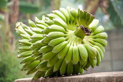 Cultivated banana, bunch of green bananas. A cluster of bananas in Thailand Royalty Free Stock Image