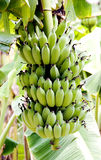Cultivated banana. Closeup of cultivated banana on tree Royalty Free Stock Photos