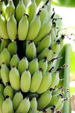 Cultivated banana closeup. The Cultivated banana on tree royalty free stock image