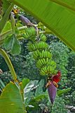 Cultivated banana . Cultivated banana on the tree in the garden stock photo