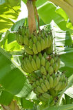 Cultivated banana fresh on the tree Royalty Free Stock Images