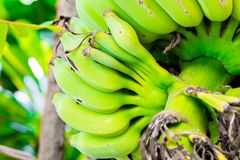 Cultivated banana isolate on background.Cost-up royalty free stock images