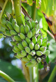 Cultivated banana. Plant in Thialand Royalty Free Stock Photography