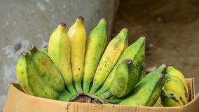 Cultivated banana for retail sale at market stock photography