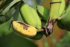 Cultivated banana on the tree and some one ripe. Cultivated banana on the tree and some one ripe, it is eaten by the animals stock photography