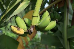 Cultivated banana on the tree and some one ripe. royalty free stock photo