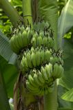 Cultivated banana in the garden. Cultivated banana is widely consumed, easy to grow, good taste stock images