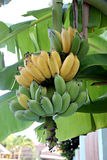 Cultivated Bananas ripening on the tree. Royalty Free Stock Image