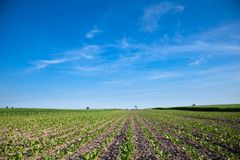 Cultivated beet field and blue sky Stock Photos