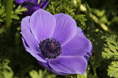 Cultivated Blue Anemone in the field Stock Photo