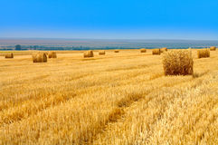 Cultivated cereal field Stock Images