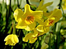 Cultivated daffodils. Cultivated daffodils with yellow petals royalty free stock images