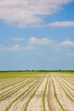 Cultivated field. And blue sky with clouds Royalty Free Stock Photo