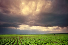 Cultivated field. Field with cultivated plants on a cloudy day Royalty Free Stock Photo
