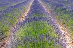 A cultivated field of blooming lavender. Near Valensole in Provence, France royalty free stock photo