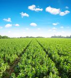 Cultivated field of broad or fava beans. Cultivated field of broad or fava beans Vicia Faba and blue sky with clouds royalty free stock photos
