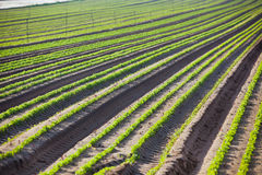 Cultivated field: Fresh Green Bed rows Royalty Free Stock Photos