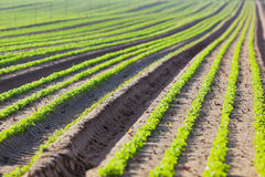 Cultivated field: fresh green salad bed rows Stock Photo
