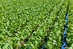 Cultivated field: fresh green salad bed rows Stock Image