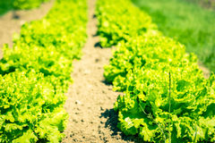 Cultivated field: fresh green salad bed rows Royalty Free Stock Image