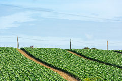 Cultivated field: fresh green salad bed rows Royalty Free Stock Photography