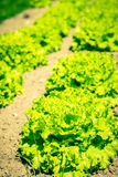 Cultivated field: fresh green salad bed rows Royalty Free Stock Photo