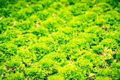 Cultivated field: fresh green salad bed rows Royalty Free Stock Photos
