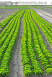 Cultivated field: fresh green salad bed rows Stock Photography