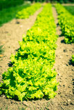 Cultivated field: fresh green salad bed rows Stock Images