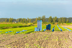 Cultivated field: fresh green salad harvesting Stock Image