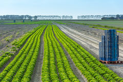 Cultivated field: fresh green salad harvesting Stock Photos