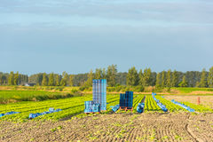 Cultivated field: fresh green salad harvesting Royalty Free Stock Photos