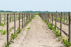 Cultivated field of grapes Royalty Free Stock Images