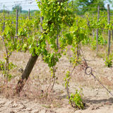 Cultivated field of grapes Stock Photography