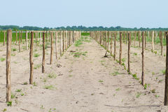 Cultivated field of grapes Stock Images