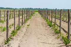 Cultivated field of grapes Royalty Free Stock Photos