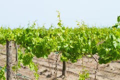 Cultivated field of grapes Stock Photo