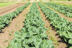 Cultivated field of lettuces and cabbages Royalty Free Stock Photo