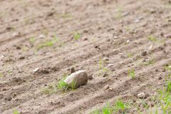 Cultivated field with rocks Stock Photography