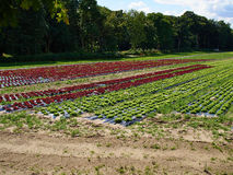 Cultivated field of Salad Green and Red Lettuce Royalty Free Stock Images