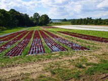 Cultivated field of Salad Green and Red Lettuce Royalty Free Stock Photography