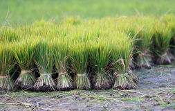 Cultivated field with seedling Royalty Free Stock Photography