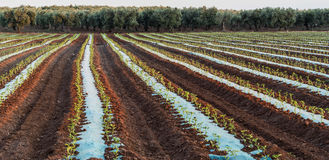 Cultivated field of vegetables. In Salento - Italy Royalty Free Stock Photos