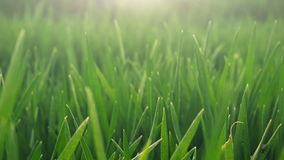 Cultivated field of young green wheat in the morning stock video footage