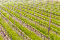 Cultivated fields of green Vineyards. Peaceful Vineyards in green farmland of the countryside in northern Italy royalty free stock photography