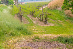 Cultivated fields of green Vineyards. Peaceful Vineyards in green farmland of the countryside in northern Italy royalty free stock photo