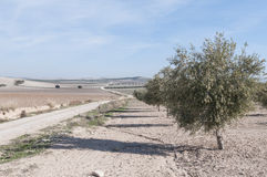 Cultivated fields of olive trees Royalty Free Stock Photos