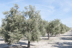 Cultivated fields of olive trees Stock Photography