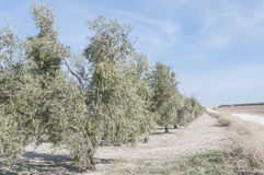 Cultivated fields of olive trees Royalty Free Stock Photo